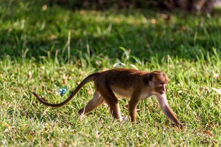 primacy: bonnet monkey