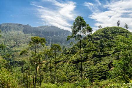 cull: Tea plantation Stock Photo