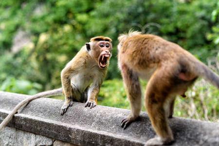 violación: monos del capó