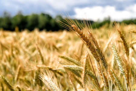 spica: field with grain Stock Photo