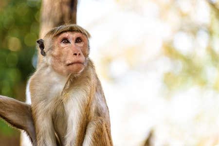 bonnet monkey in Sri Lanka Фото со стока