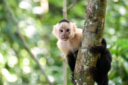 cebus monkey in the jungle