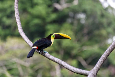 toucan in the branches of a tree in Costa Rica Stock Photo