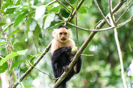 Cebus monkey in a tree in the jungle in central america