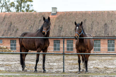 two brown horses on a paddock on farm in eastern Poland in Europe