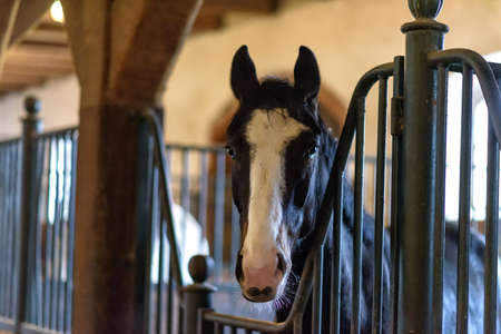 black horse with white head in a stable on farm in eastern Poland in Europe