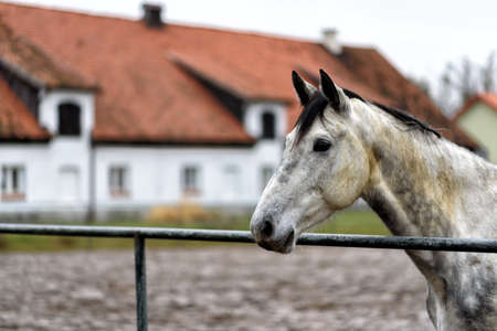 white horse horse on a paddock on farm in eastern Poland in Europe Stock Photo