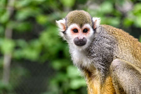 squirrel monkey in the jungle in south america