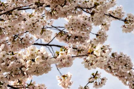 cherry trees in full bloom in spring in Europe