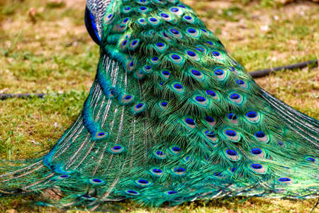 peacock in springtime with beautiful feathers