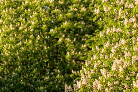 chestnut tree in full bloom in spring in Europe 版權商用圖片