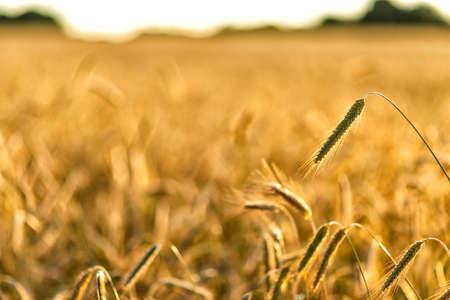 grain on a field in Europe in July