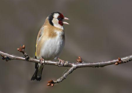 ゴールド ・ フィンチ (Carduelis carduelis) 枝に歌っています。 写真素材