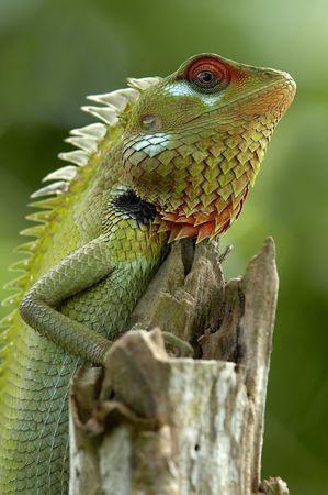 srilanka: Green garden lizard (Calotes calotes), Srilanka. Stock Photo