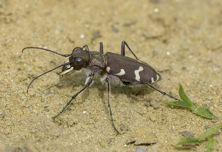tiger beetle: Scarabeo Tiger (Cicindela) sulla sabbia estremamente dettagliate macro