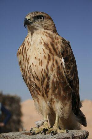 チュニジアの砂漠でファルコンの肖像画。