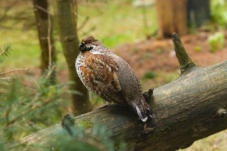Hazel grouse (Bonasa bonasia) op, meldt u zich in het forest.