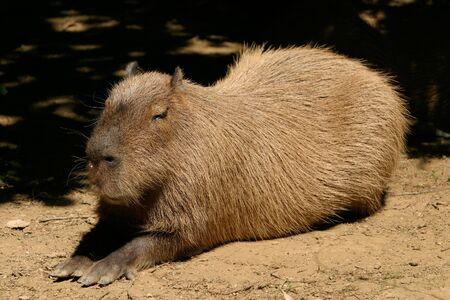 quadruped: Capybara (Hydrochoerus hydrochaeris) sunbathing after rich meal. Stock Photo