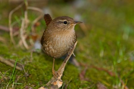 troglodytes: Winter Wren (Troglodytes troglodytes), looking for food near small stream.