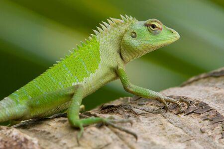 緑の庭のトカゲ (Calotes calotes)、女性、スリランカ。