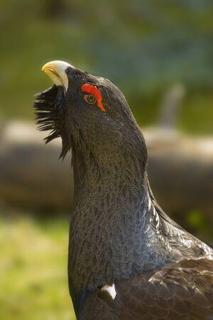 grouse: Wood Grouse ( Tetrao urogallus L.) closeup portrait.