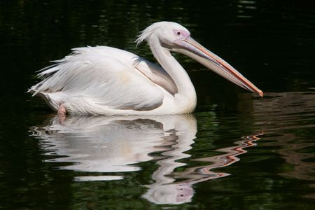 Pelican with reflection in water. Stock Photo - 5269815