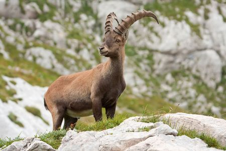 goat capricorn: Alpine Ibex (Capra ibex) in Slovenian Alps. Stock Photo