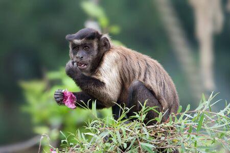 フサオマキザル (アカデミズム apella) 木の上を食べるします。
