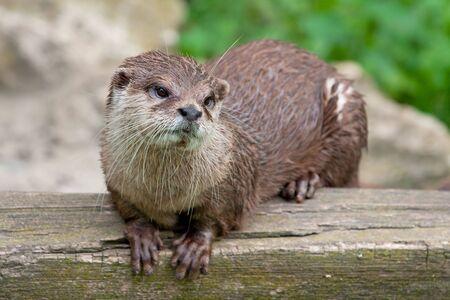 aonyx: Oriental Small Clawed Otter (Aonyx cinereus)