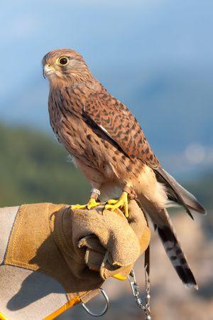 チョウゲンボウ (ファルコ捕獲) ファルコナーの手袋の上に腰掛けて。
