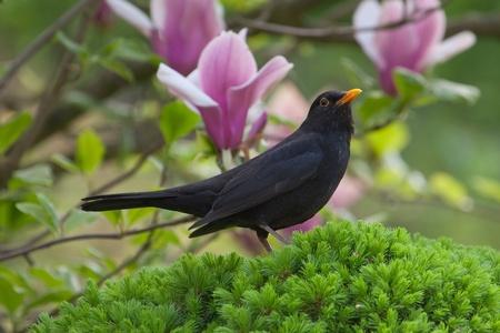春の庭で男性のブラックバード。