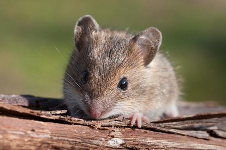 マウスのクローズ アップ 写真素材
