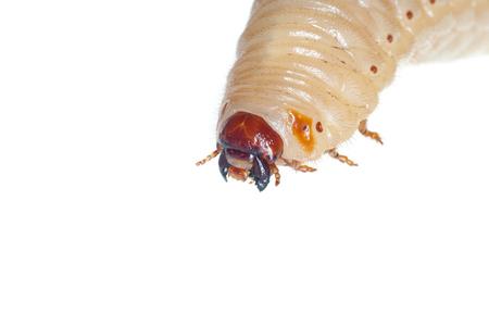 白で隔離される Melolontha melolontha 幼虫のバグがあります。 写真素材