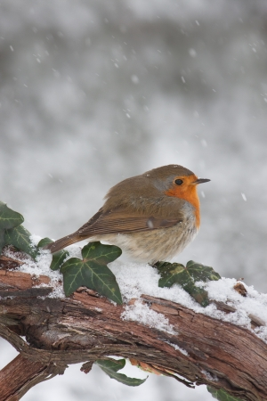 雪の中で枝の欧州ロビン (Erithacus rubecula)。