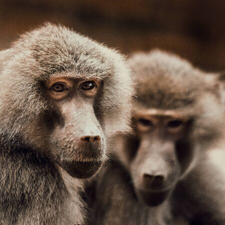 Baboon females