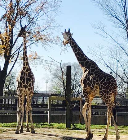 giraffe Фото со стока - 86876568