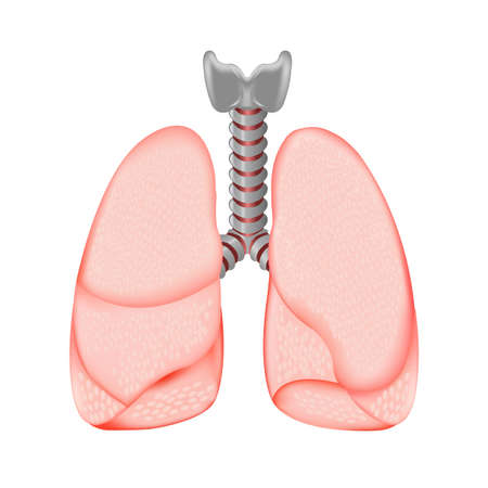 Human Lungs, Isolated On White Background, Vector Illustration  Vector