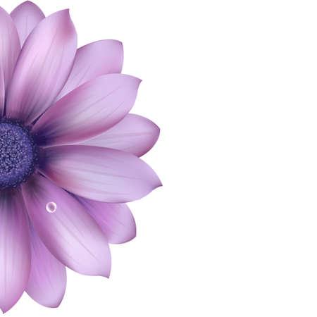 gerbera daisy: Lila Flores, aislados en fondo blanco, ilustraci�n vectorial