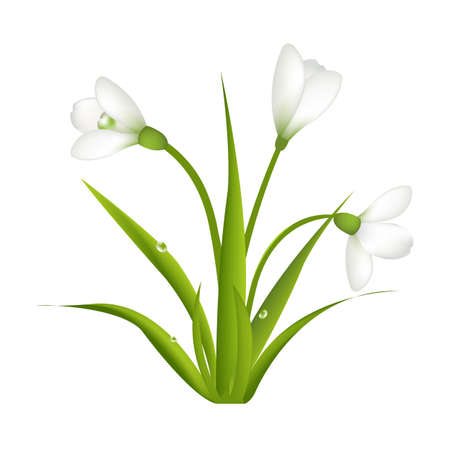festal: 3 Snowdrops With Leaf, Isolated On White Background, Vector Illustration