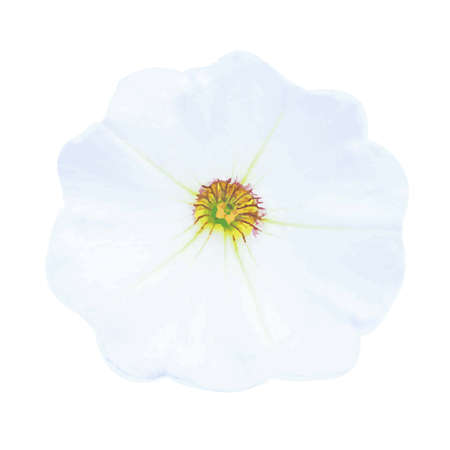 petunia: Petunia, Isolated On White Background Illustration
