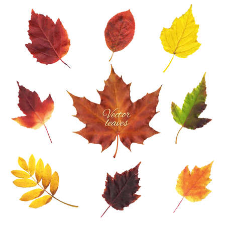 birch leaf: Autumn Leaves Set, Vector Illustration
