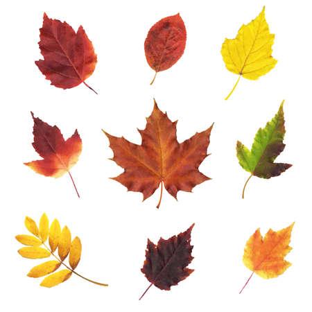 elm: Big Set Leaves, Vector Illustration