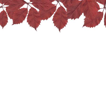 aronia: Red Leaves Border, Vector Illustration