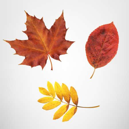 aronia: Color Autumn Leaves, Vector Illustration