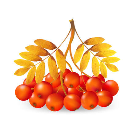 raceme: Ashberry With Gradient Mesh, Vector Illustration