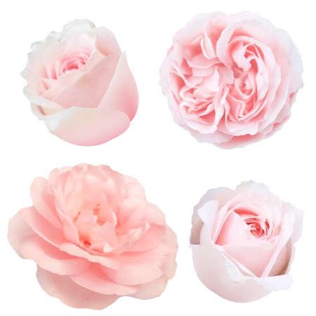 Rosas fijadas con malla de degradado, ilustración vectorial