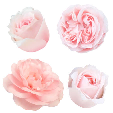 Roses Set With Gradient Mesh, Vector Illustration