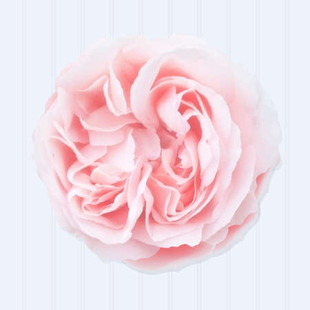 pink rose: Pink Rose With Gradient Mesh, Vector Illustration
