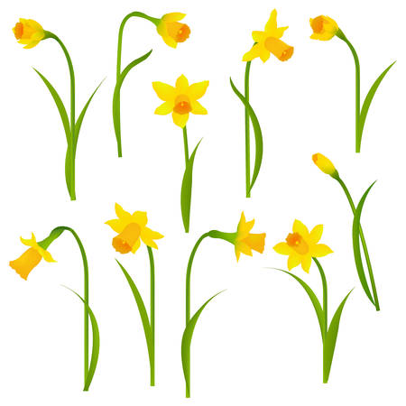 Narcissus Set With Gradient Mesh, Vector Illustration Illustration