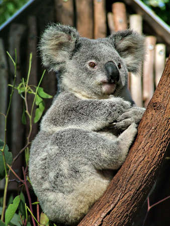 lone pine: Koala. Tomado en Lone Pine Koala Sanctuary, Australia.